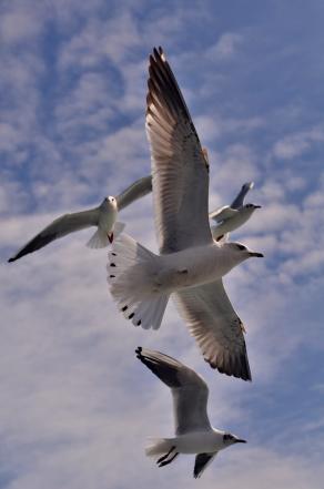 Seagulls at the Bosphorus, Istanbul