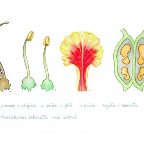 Reproductive organs of Pau Brasil tree