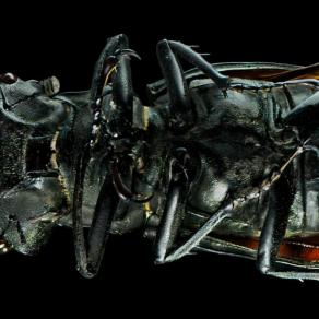stag beetle ( lucanus cervus )