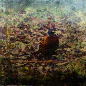 Pheasant in the garden / Nature's Christmas present